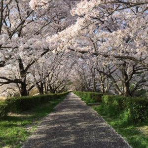 日進市の桜
